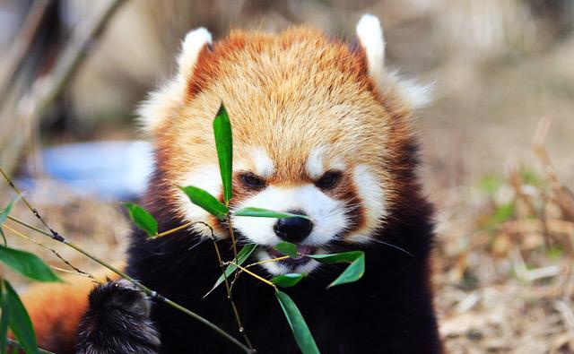 食事中のレッサーパンダ